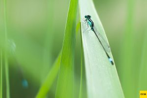 Libelles-CCQ